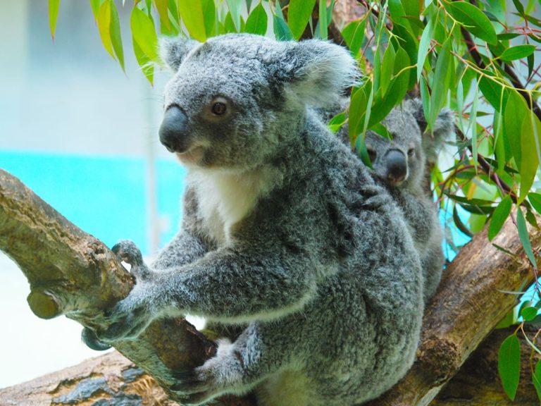 コアラ飼育動物園情報まとめ(日本全国に7園のみ)