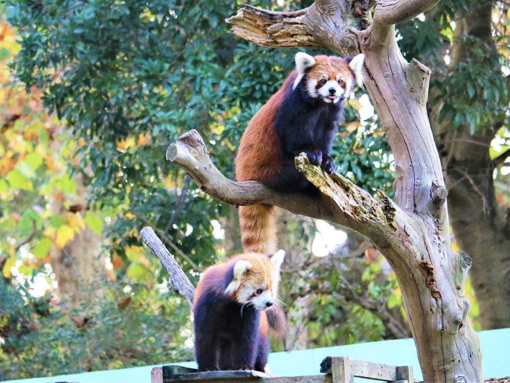 レッサーパンダ(千葉市動物公園)