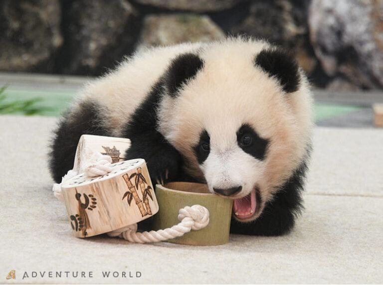 赤ちゃんパンダ「楓浜」へ新しい遊具プレゼント4/15@アドベンチャーワールド