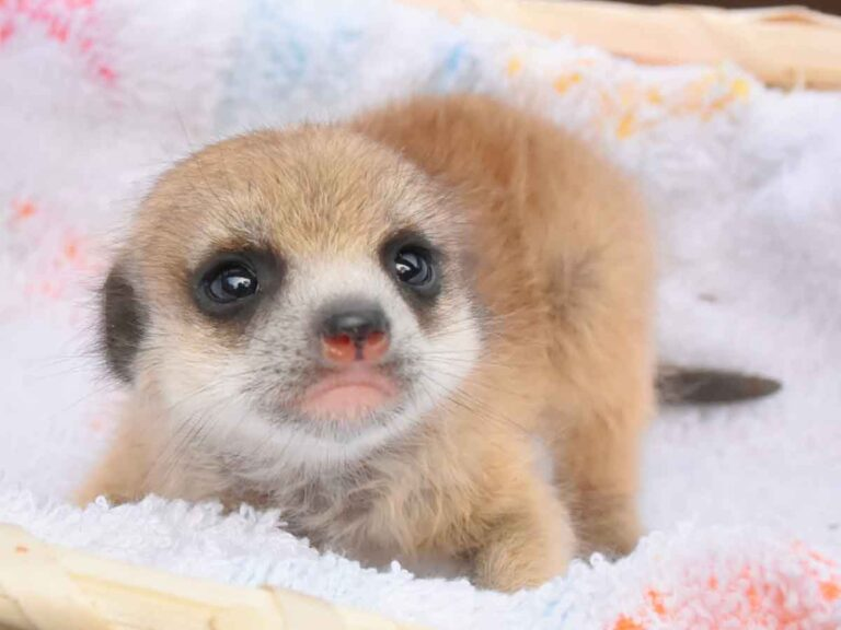 ミーアキャットなど6種類の動物の赤ちゃんが誕生!@伊豆シャボテン動物公園